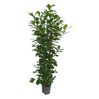 Ficus moclame 2pp 120 22/19