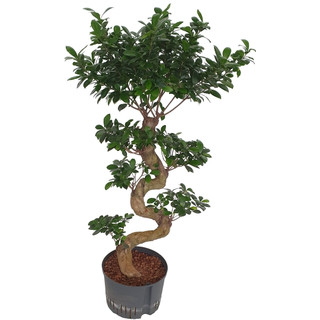 Ficus retusa microcarpa Bonsai S 110-120 28-32/19
