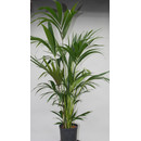 Howeia forsteriana (Kentia) 120-140 6pp  18/19