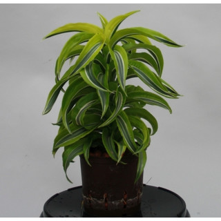 Dracaena der. Lemon Surprise Kopf 1312