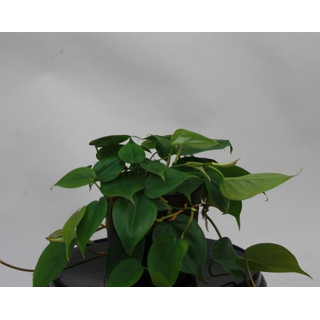 Philodendron scandens 13/12